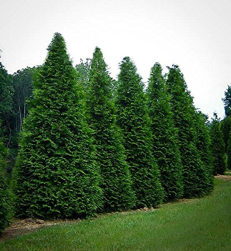 Green Giant Arborvitae, 4 Plants in 4 Separate 2.5 inch Containers 6-14 inches Tall