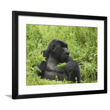 Silverback Mountain Gorilleating, Holding Plants in its Hand (Gorilla Beringei Beringei) Framed Print Wall Art By Thomas Marent