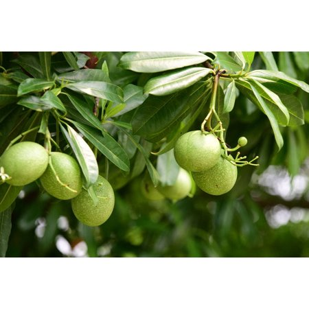 10 Bael Tree Seeds Aromatic pink flower clusters sub-tropical plant zone 9+ Great for bonsai or Tropical container Aegle (Best Plants For Zone 9)