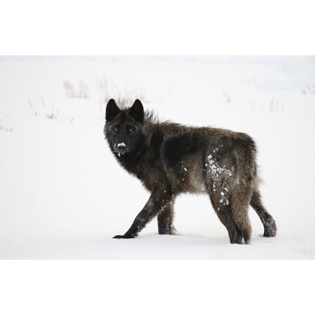 LAMINATED POSTER Winter Pack Snow Grey Black Canine Predator Wolf Poster Print 24 x