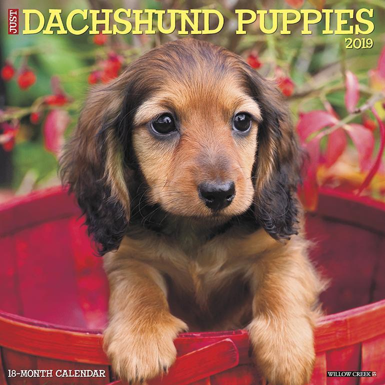 Just Dachshund Puppies 2019 Wall Calendar (Dog Breed Calendar) (Other)
