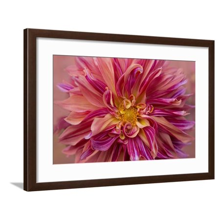 Oregon, Canby. Pink Dahlia Detail Framed Print Wall Art By Jaynes (Canby Woods)