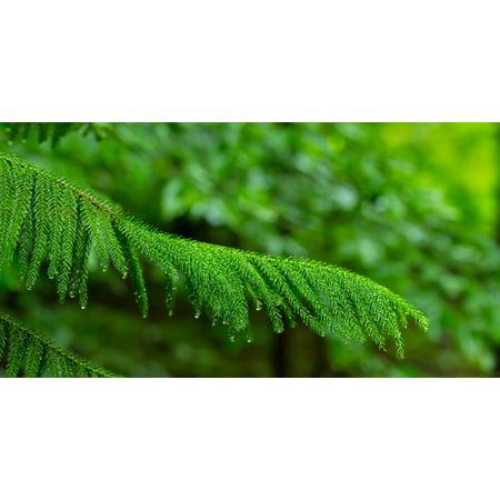 Close-up of Norfolk Island Pine (Araucaria heterophylla) leaves Hamburg New York State USA Stretched Canvas - Panoramic Images (36 x (University Of Fine Arts Of Hamburg Hamburg Germany)