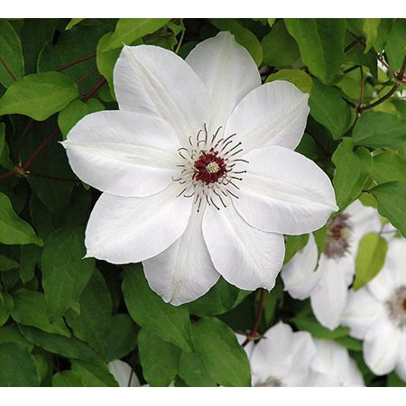 Henryi Clematis Vine - Pure White - 2.5