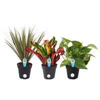 Costa Farms Live Indoor 10in. Clean Air Plants With Benefits, 3-Pack