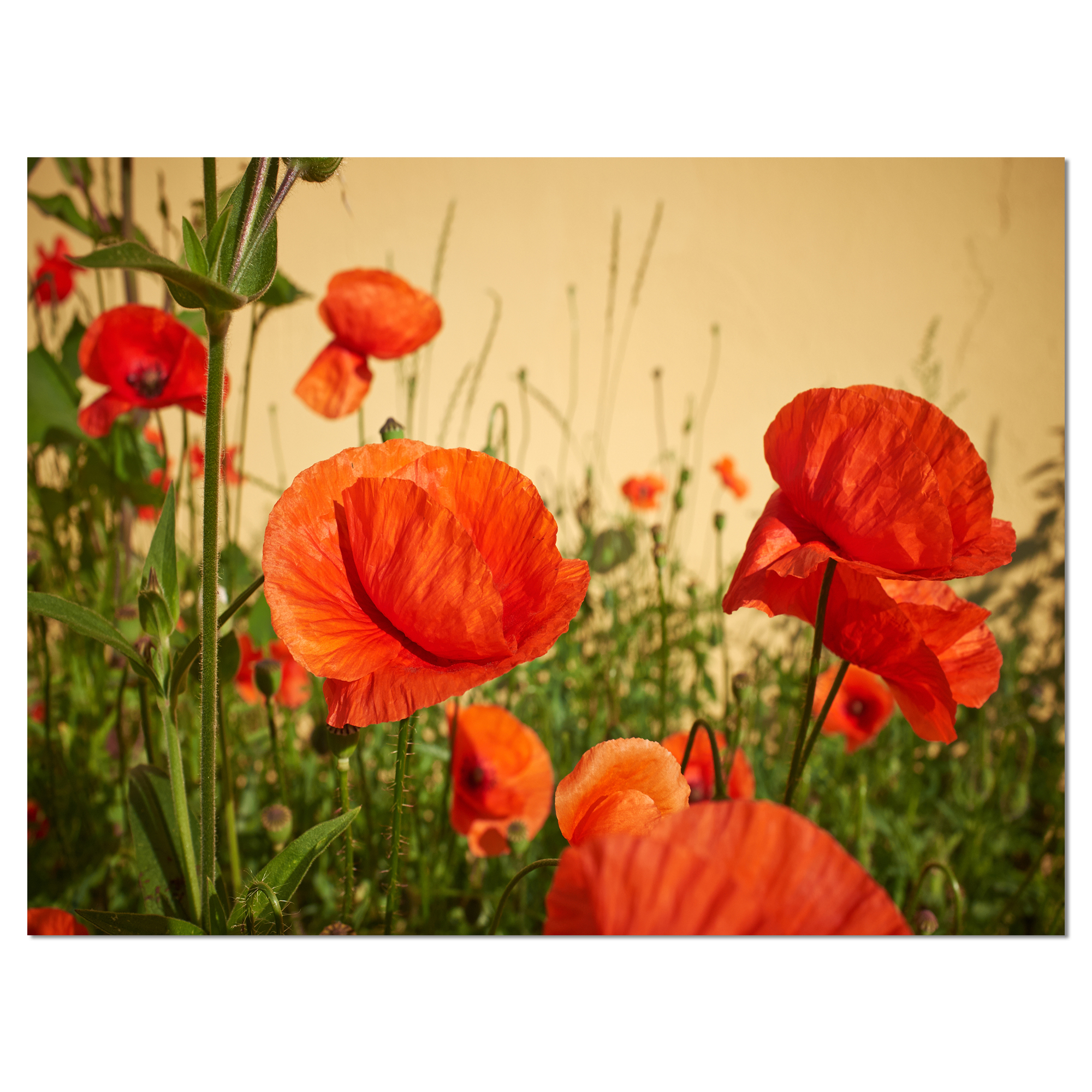 Colorful Red Poppy Flower Field Flower Artwork On Canvas Walmart