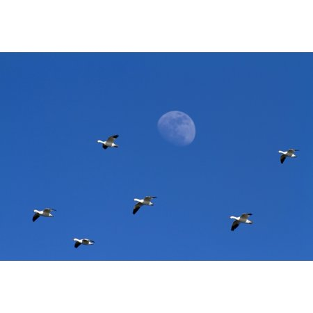 Group Of Snow Geese Flying High In The Sky With The Moon In The Background Chen Caerulescens La Baie Du Febvre Province Of Quebec Canada Canvas Art   Philippe Henry  Design Pics  17 X 11