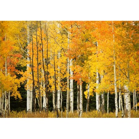 USA Colorado Near Steamboat Springs Line of Fall-Colored Aspen Trees - Buffalo Pass Poster Print, 16 x 11
