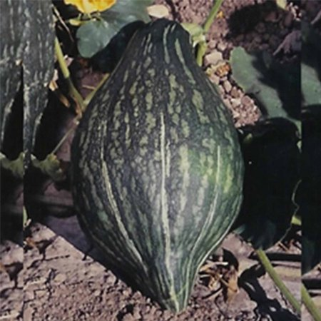 Green Hubbard Winter Squash Garden Seeds - 1 Oz - Non-GMO, Heirloom - Vegetable Gardening Seed, Squash Seeds - Winter - Green Hubbard .., By Mountain Valley Seed Company Ship from