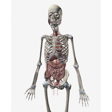 Human Skeletal System With Organs Of The Digestive System Visible Canvas Art   Stocktrek Images  26 X 32