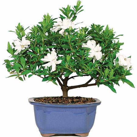Gardenia Bonsai Tree
