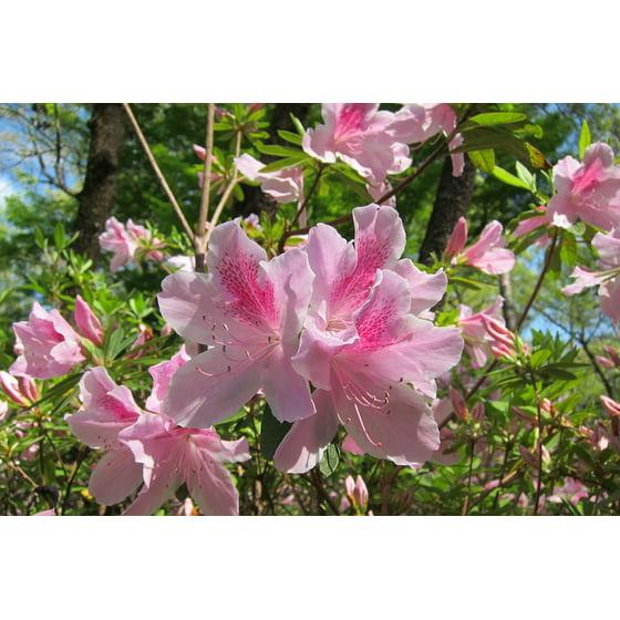 Laminated Poster Plant Flora Nature Garden Pink Azalea Flower Poster