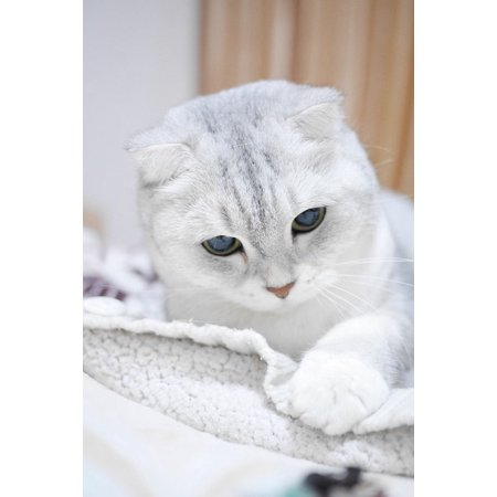 Canvas Print Animal Scottish Fold Cats Silver Gradient Pets Cat Stretched Canvas 10 x 14
