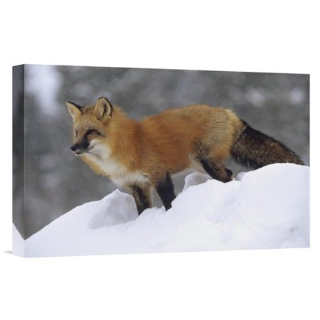 East Urban Home Montana Red Fox Standing At The Top Of A Snow Bank Photographic Print On Wrapped Canvas