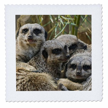 3dRose Meerkats, Louisville Zoo, Louisville, Kentucky - US18 AJE0300 - Adam Jones - Quilt Square, 14 by 14-inch (Louisville Square)