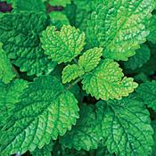 Lemon Balm Perennial Herb Live Plant - Heirloom - Melissa - 3  Pot
