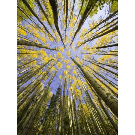Golden Aspen Trees Seen From Below Fall Tree Forest Photo Print Wall Art By John Eastcott & Yva