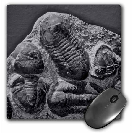 3dRose Phacopidae trilobites from the devonic in Morrocco, Mouse Pad, 8 by 8 inches