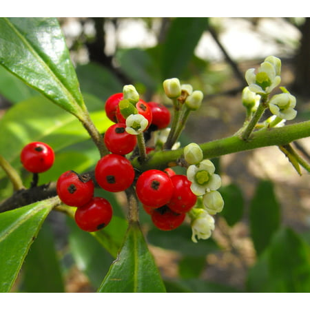 Yerba Mate - Chimarrão - Ilex paraguariensis - Herbal Tea Plant - 4