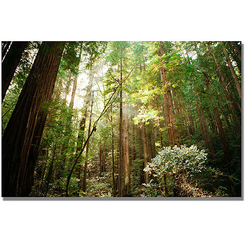 "Trademark Fine Art ""Muir Woods"" Canvas Wall Art by Ariane Moshayedi"