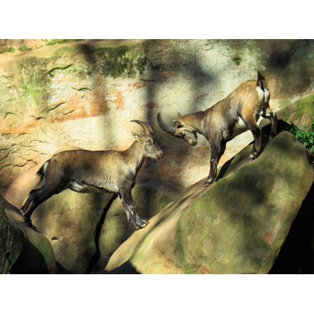 Canvas Print Fight Alpine Mountains Horns Capricorn Animal Stretched Canvas 10 x 14