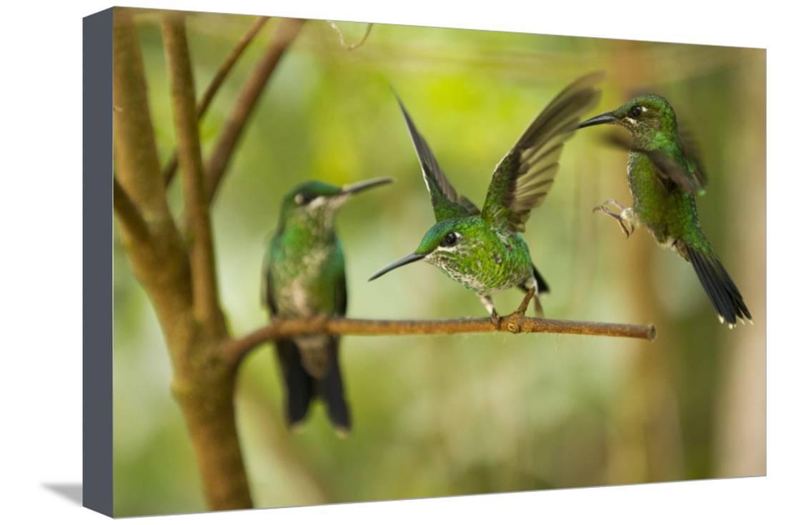 Hummingbirds, Costa Rica Stretched Canvas Print Wall Art - Walmart.com
