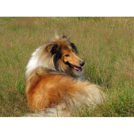 - Canvas Print Dog Breed Rough Collie Animal Pet Canine Collie Stretched Canvas 10 x 14