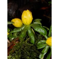 LAMINATED POSTER Flower Plant Green Water Drops Yellow Poster Print 11 x 17