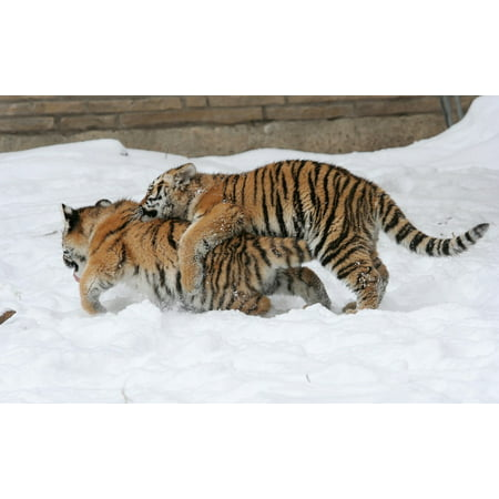 LAMINATED POSTER Winter Big Cats Zoo Snow Feline Playing Tiger Poster Print 24 x 36](Snow Tiger For Sale)