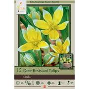 Tarda Perennial Tulip 15 Bulbs - Very Hardy - 8/+ cm Bulbs