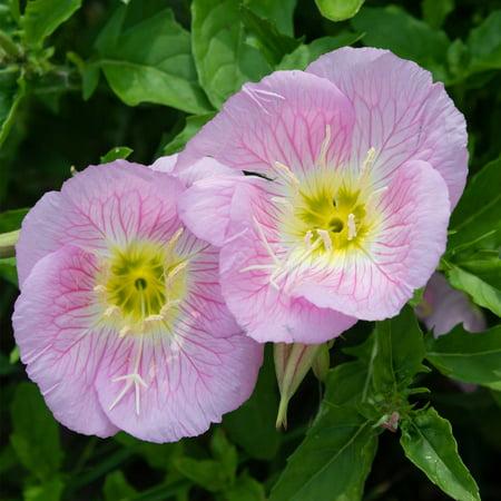 showy evening primrose wildflower gardening seeds 4 oz wild flower garden seeds aka mexican prim rose oenothera walmartcom - Prim Garden