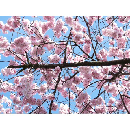 Laminated Poster Flowers Ornamental Cherry Japanese Cherry Trees
