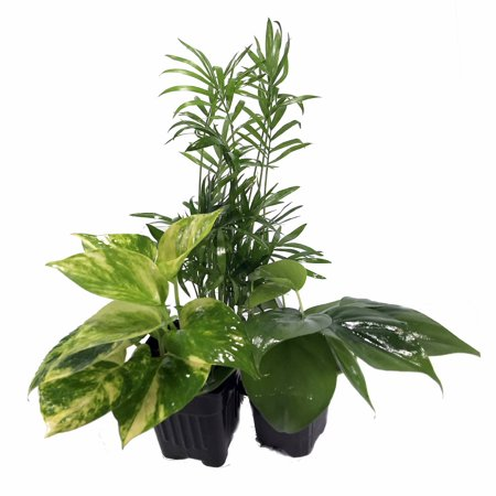 Low Light House Plant Collection - Parlor Palm/Philodendron/Devil's Ivy -3