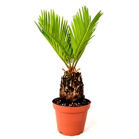 9GreenBox - Japanese Sago Palm - GREAT GIFT EASY TO GROW - 4