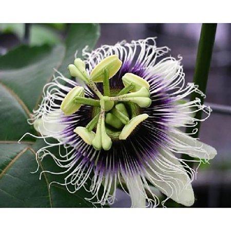 - Passion Fruit Seeds - Passiflora edulis - 25 Seeds