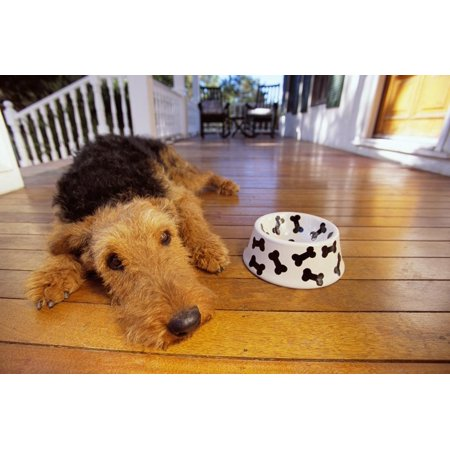 Airedale Art (Airedale Terrier Lying by Food Dish Print Wall Art By DLILLC)