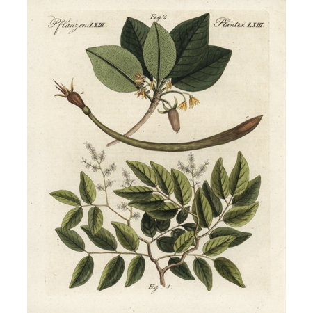 Copaiba Balsam And Red Mangrove Poster Print By ® Florilegius  Mary Evans ()