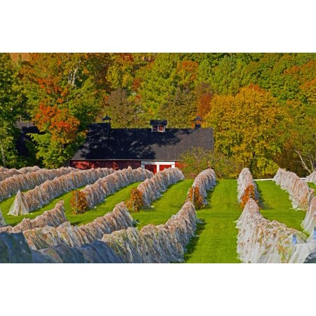 Wine Grape Vineyard In Autumn With Bird Netting Covering The Vines To Protect The Crop Shortly Before Harvest Knowlton Quebec Canada Posterprint