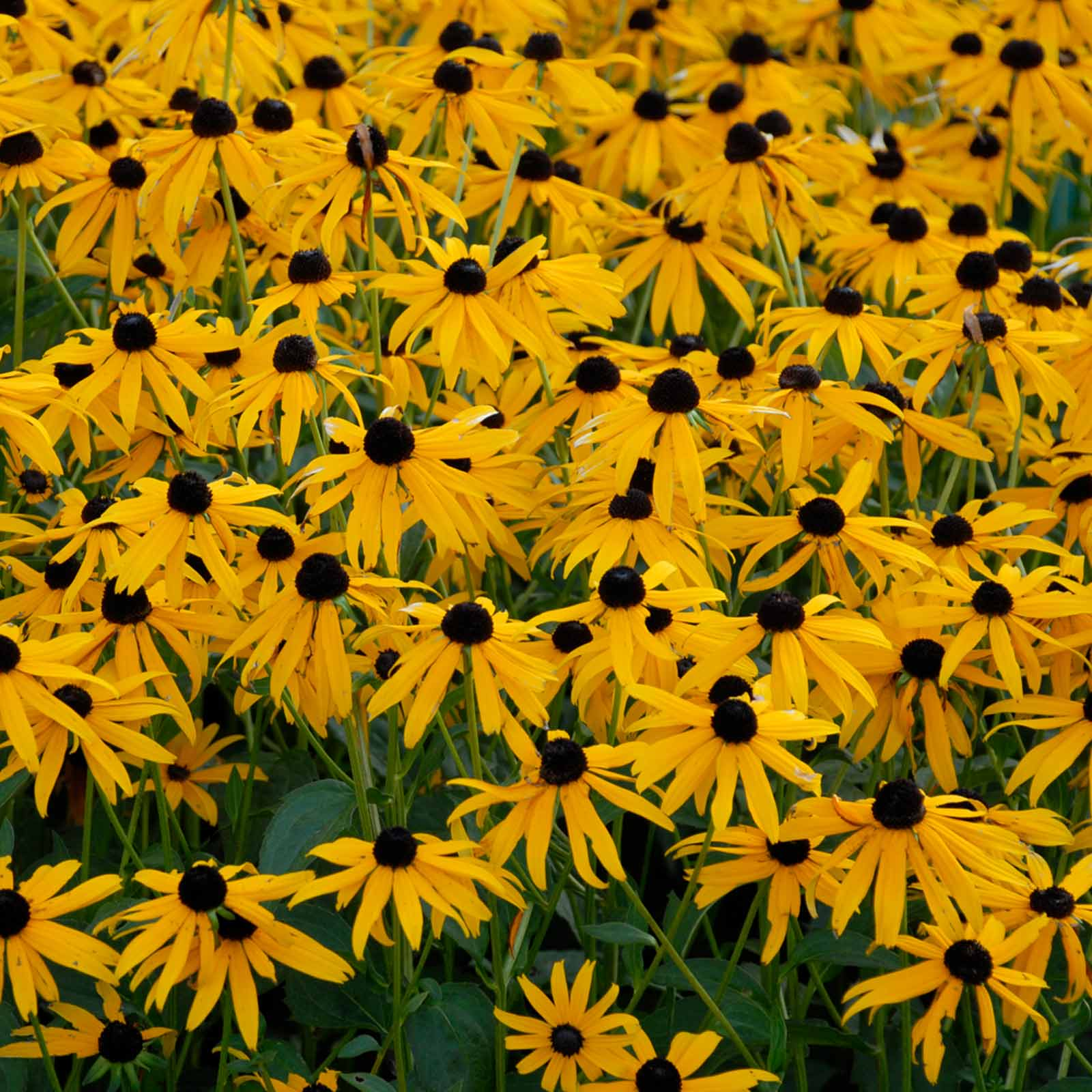 Rudbeckia black eyed susan seeds goldsturm sunset 500 seeds rudbeckia black eyed susan seeds goldsturm sunset 500 seeds yellow blooms mightylinksfo