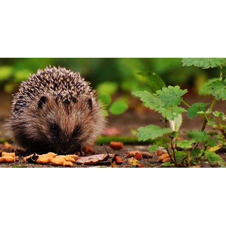 LAMINATED POSTER Hedgehog Hedgehog Child Animal Spur Young Hedgehog Poster Print 24 x 36