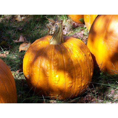 Canvas Print Pumpkins Pumpkin Fall Harvest Halloween Autumn Stretched Canvas 10 x 14](Harvest Halloween)