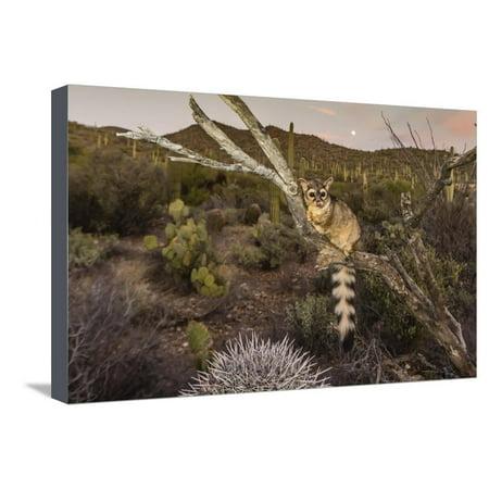 Arizona Sonora Desert Museum (Captive Ringtail (Bassariscus Astutus) at Sunset, Arizona Sonora Desert Museum, Tucson, Arizona Stretched Canvas Print Wall Art By Michael Nolan )