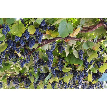 Macedonia, Ohrid and Lake Ohrid, Grapes Growing Along Trellis Print Wall Art By Emily Wilson - Grape Trellis Antique Iron