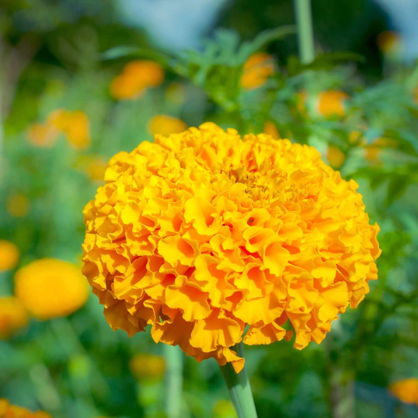 African Marigold Flower Garden Seeds - Crush Series F1 - Pumpkin Orange - 100 Seeds - Annual Flower Gardening Seeds - Tagetes erecta
