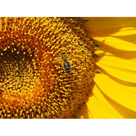 Nectar Framed (Framed Art for Your Wall Blossom Inflorescence Nectar Sun Flower Bee Bloom 10x13 Frame )