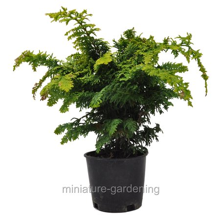 Chamaecyparis obtusa, Fernspray Gold, Hinoki Cypress - Hinoki Cypress Tree