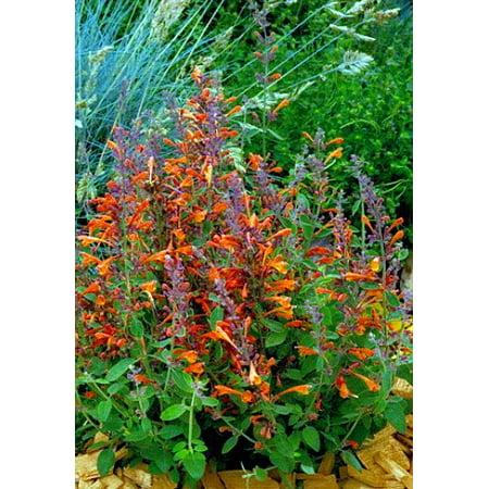 Fragrant Tango Hummingbird Mint Perennial Live Plant - Agastache - Quart Pot