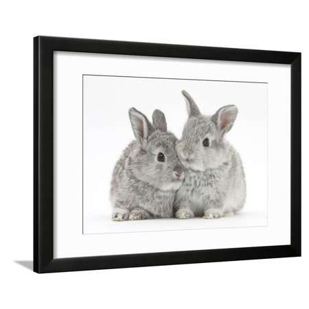 Two Baby Silver Rabbits Bunny Photo Framed Print Wall Art By Mark Taylor ()