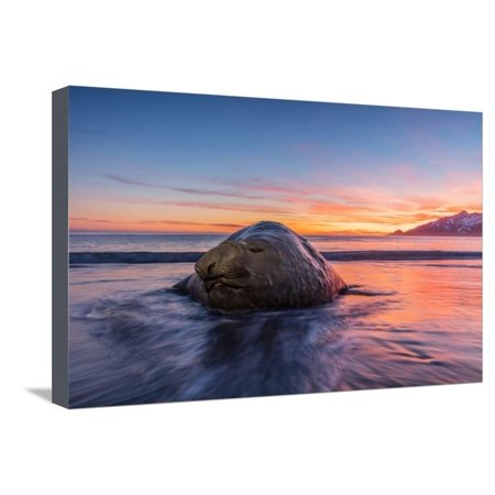 South Georgia Island, St. Andrew's Bay. Elephant Seal in Beach Surf at Sunrise Stretched Canvas Print Wall Art By Jaynes