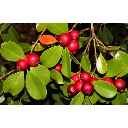 Strawberry Guava Plant - Psidium cattleianum - Indoors or Out - 4